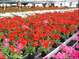 温室栽培花卉 花卉大棚 花卉温室