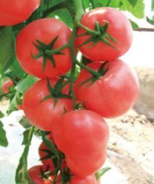 高产番茄种子;高产大番茄种子;高产番茄种子销售