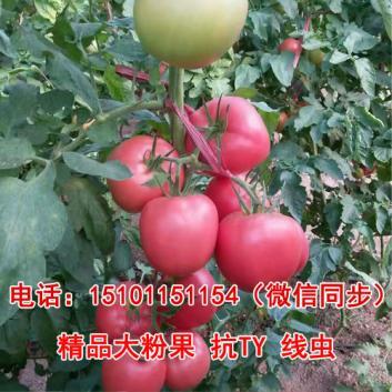 高产番茄种子;耐裂西红柿种子;抗病番茄种子价格
