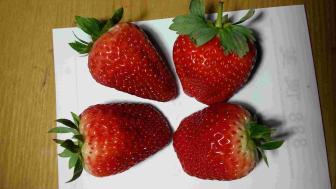 科技为你所用、精品为你所享太空2008草莓苗太空育种抗病口感好新品种