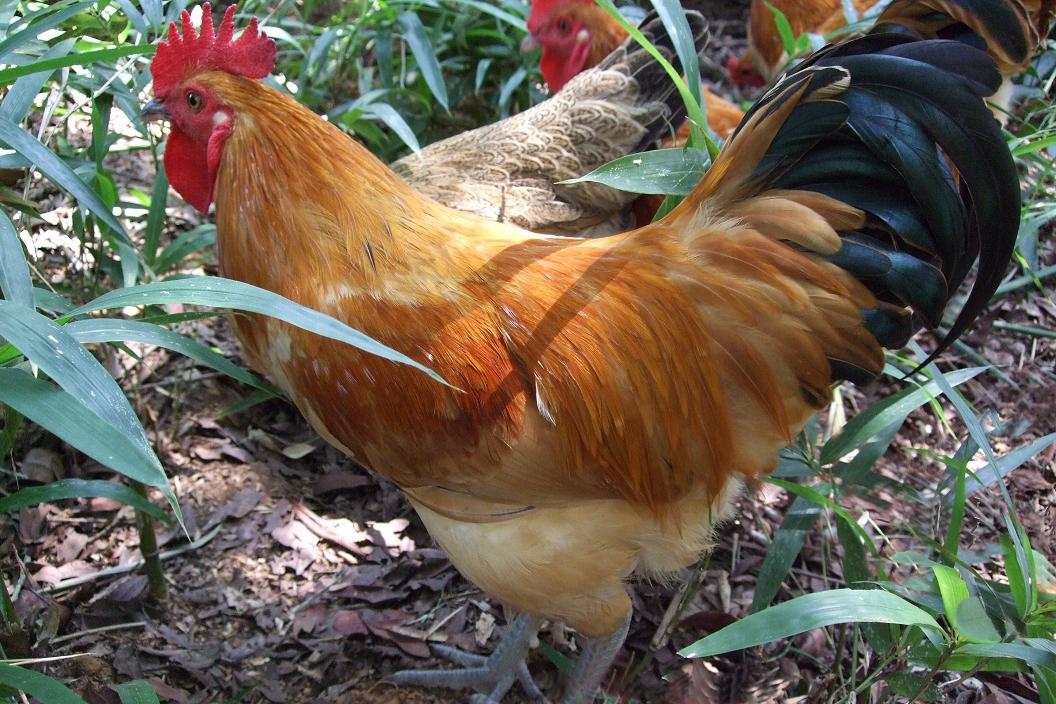 黄色片色鸡鸡_动物 鸡 1056_704