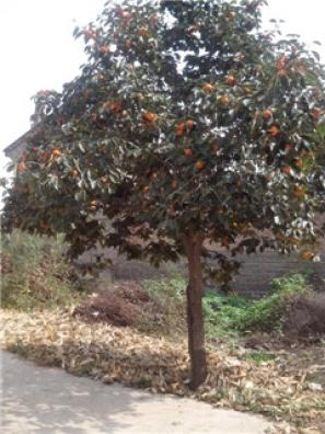 山西苗圃2-15公分山楂树柿子树山楂树价格柿子树图片