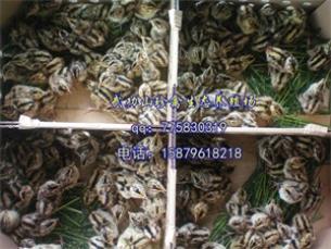 湖南安仁县脱温山鸡苗珍禽养殖孵化基地 优质脱温山鸡苗种苗健壮
