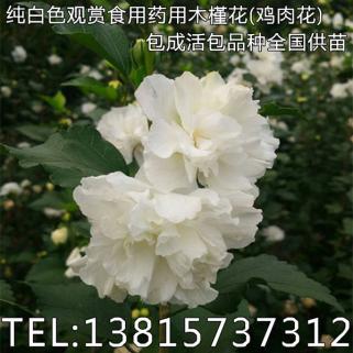 流行鲜花木槿树苗可以吃的木槿花树苗批发