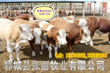山东大型肉牛育肥场