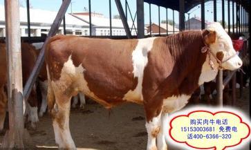 河南焦作市改良肉牛鲁西黄牛价格
