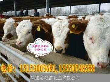 西门塔尔改良牛抵抗力怎么样