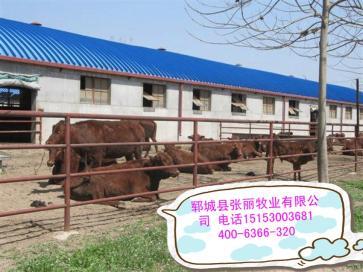 湖北潜江市300斤肉牛价格