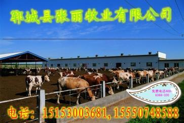 安徽省毫州市鲁西黄牛种牛价格
