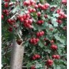 山楂树、大金星山楂树、山西8公分山楂树供应商