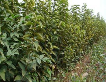 山西柿子苗、阳丰柿子苗、新品种柿子苗培育基地