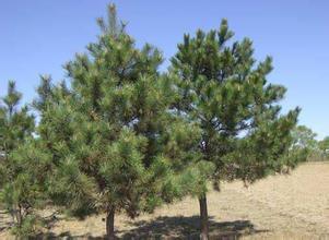 【大量1-5米油松批发市场】_大量油松价格_大量油松大全