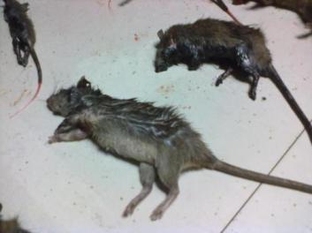 黄冈高捷公司的灭老鼠方法介绍