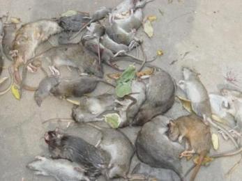 黄冈高捷灭老鼠公司为您介绍鼠类的危害