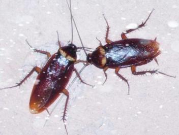 黄冈高捷害虫防治公司建议杀蟑螂以后要怎么做