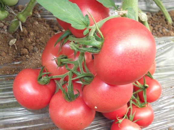 本公司供应进口蔬菜种子-番茄种子