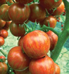 本公司供应进口蔬菜种子-国产番茄种子=金玉彩1番茄种子