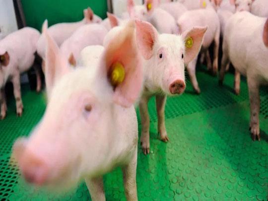 人工智能来养猪?这不是在开玩笑!